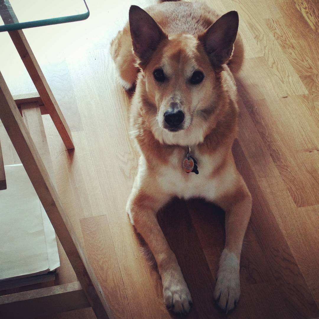 A light brown dog laying down on a light brown wooden floor. His chest is white and his front paws are white at the ends. He is looking up at the camera.
