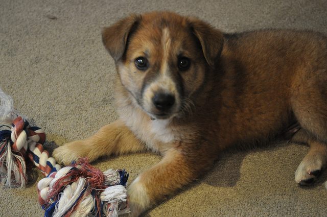 A fuzzy brown puppy lying down on a beige carpet, looking at the camera. He has a white stripe down his face with black markings on the sizes of his muzzle. He has a dog rope toy next to his paws.